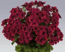 10PCS Dark Red Geranium PAC Tommy Flower Seeds Big Blooms Ivy-Leaved Pelargonium