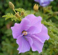 Samen Saatgut Gartenblume i! blauer Hibiskus !i winterhart frosthart exotisch