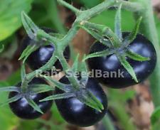 Tomato Midnight Snack AAS Winner Indigo-Blue Tomato Contain Healthy Antioxidants