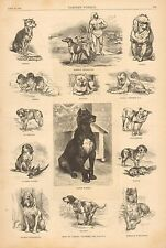 Dogs Of Various Countries, Danish Mastiff, Bull Dog, Beagle, 1882 Antique Print