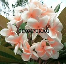 """CHOM KAO"" FRAGRANT PLUMERIA CUTTING HAVE ROOTED 7-12 INCHE WITH CERTIFICATED"