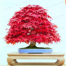 30 Seeds Red Maple Acer Palmatum Atropurpureum Ornamental Bonsai Or Feature
