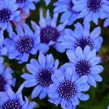 50 Felicia Blues Blue Daisy