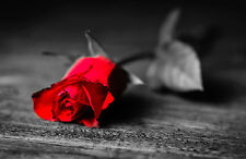 Incorniciato stampa-BLACK & WHITE ROSE CON FIORE ROSSO IN LISTONI (PICTURE ART)