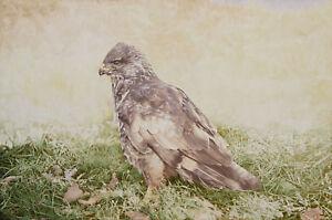 Buzzard POSTCARD Bird of Prey Steve Greaves Painting Falconry Print Art Card