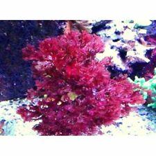 New listing Gracilaria Hayi Macro Algae Red Bush Algae Reef Saltwater Refugium 2 ounces