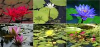 Nymphaea Water Lily / Lotus Seeds * Caerulea * Ampla * Flare * Capensis * 6 Pack