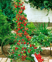 Red Strawberry Climbing Seeds Home Garden Fruit Exotic Decoration 100 Psc