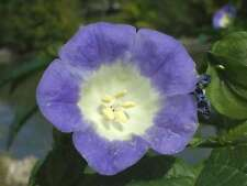Belladona del pais - Nicandra physalodes - 8 Semillas - Flores Jardín - Samen