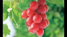 Ruby Roman Grape 10 PCS Bonsai Delicious Home Value Important Nutritional Fruit