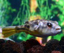 """Fahaka Puffer Fish LIVE AQUARIUM TANK  Aquatics Tropical Freshwater  1-2"""""""