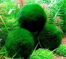 4 Marimo Moss Balls - Live Aquarium Plant Decor For Fish Tanks, ~2 Inches - Larg