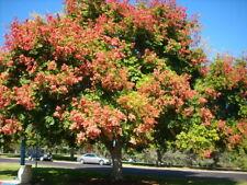 Golden Rain Tree, Pride Of India, Varnish Tree, Koelreuteria paniculata 10 seed