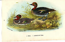 Antico Chromo-LITHO Bird Print-color foglia di tè-LLOYD 'S Natural History (c1890)