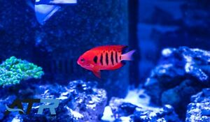 Flame Angelfish, Small, Not Reef Safe, Community, Peaceful, Herbivore, ATR