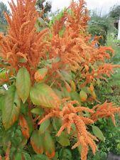 Amaranth ca. 100 Samen Blumensamen Bio-Naturgarten