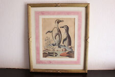 George Edwards antique engraving bird print art - The Black Footed Penguin