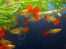Tropical Fish, Japanese Koi Guppy's, Young Trio! FREE SHIPPING!