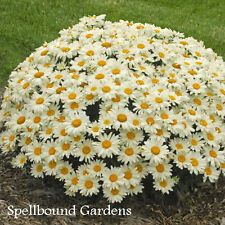 Leucanthemum superbum 'Whoops-a-Daisy' PP27259 Shasta Daisy Live Plant