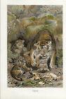 Tiger Farb-Lithographie 1890 - Altes Bild Druck Print Zoologie Tiere Wildtiere