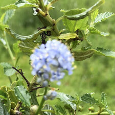 Ceanothus thyrsiflorus var. repens FREE DELIVERY ON 5 OR MORE OF ANY PLANTS