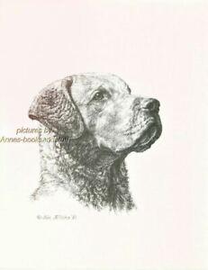 #295 CHESAPEAKE BAY RETRIEVER dog  art print * Pen and ink drawing * Jan Jellins