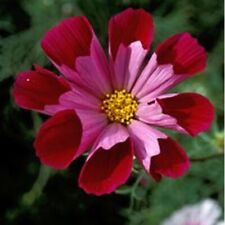 Cosmos bipinnatus Pied Piper Red - 50 Seeds - HH Annual Flower