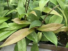 Hoya Pubicalyx Wax Plant Green In 4� Pot(Not For California)