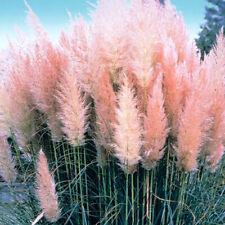 1 X PINK ROSEA CORTADERIA SELLOANA PAMPAS GRASS PUMILA TALL FEATHERY DECORATIVE