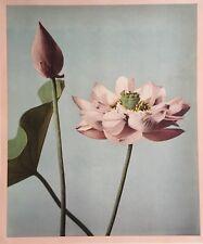 PHOTO JAPON 1897 - FLEURS (Volume II - LOTUS) OGAWA - COLLOTYPE REHAUSSE COULEUR