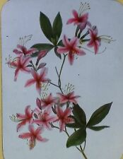 Flame Azalea Flowers,  Magic Lantern Glass Slide (Color, Rhododendron)