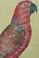 Belle gravure ancienne Martinet  portrait Lory nouvelle Guinée Couleur Perroquet