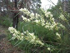 Acacia suaveolens (5 graines/seeds )