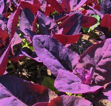 Orach Red Plume - Atriplex hortensis - 25 grams - Vegetables - BULK