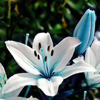 200pcs*Blue Heart Lily Flower Seeds Bonsai Plant Lily Plant Seeds Home-Garden