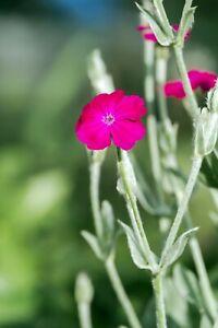 250 Organic ROSE CAMPION Silene Coronaria Lychnis Flower Seeds