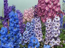 Larkspur, Giant Imperial 100+ Seeds Organic Newly Harvested, A Great Cut Flower