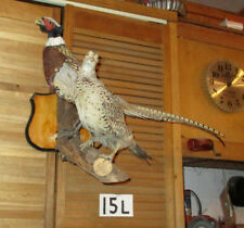 Wall Mount Pair Hen And Rooster Pheasant Mount Taxidermy 15L