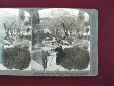 Stereoview Underwood & Underwood Ancient Olive Trees In Garden Of Gethsemane (O)