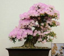 BEAUTY BUSH - 30 SEEDS - Kolkwitzia amabilis - Bonsai or shrub Linnaea amab#3730