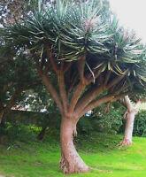 Dragon Tree - Dracaena draco - Plant