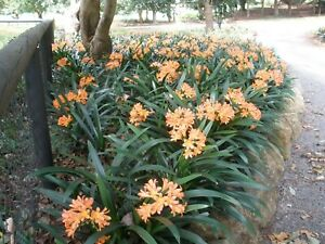 landscaping clivias 10  plants for $60 light orange in colour