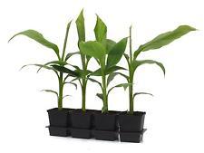 Musa basjoo 30  cm  winterharte Japanische Faserbanane Banane  Bananenpflanze