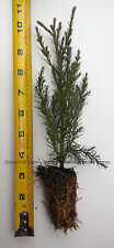 "3 Giant Sequoia Tree - California Redwood -  Potted - 5"" - 8"" tall Seedling"