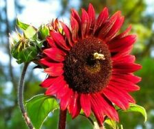 Chocolate Cherry Sunflower Seeds 20+ Annual Garden bees Birds Free Shipping