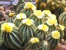Parodia Magnifica, rare notocactus exotic eriocactus succulent cactus - 25 SEEDS