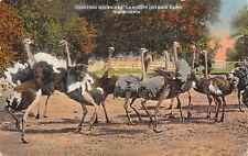 Fighting Ostriches Cawston Ostrich Farm California c1910 Postcard