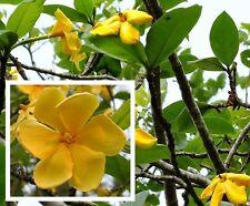 Yellow Gardenia Flower Gardenia Sootepensis Exotic Garden Tree Fresh 20 Seed
