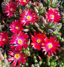 30+ DELOSPERMA CARMINE RED / ICE PLANT GROUND COVER PERENNIAL  FLOWER SEEDS