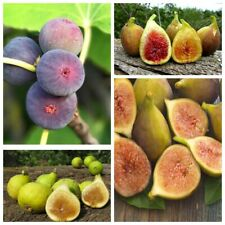 100 Figs Fruit Tree Seeds Home Garden Perennial Delicious Healthy Plants Bonsai